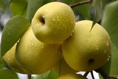 资讯生活春季吃梨的好处梨的各个部位的功效不同